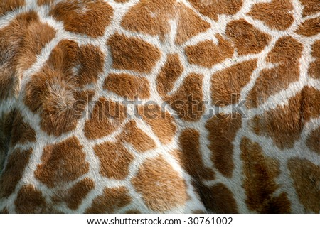 textured skin of giraffe - stock photo