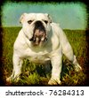 Textured vintage look portrait of white male english bulldog standing in the grass - stock photo