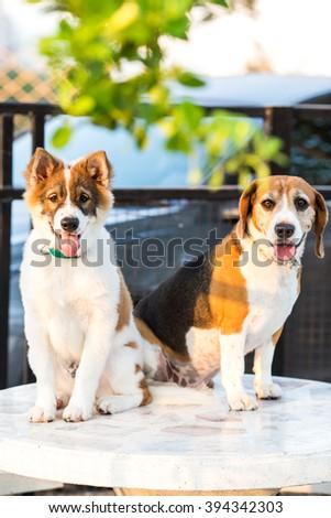 Thai Bangkaew dog and Beagle dog sitting on the table - portrait - stock photo