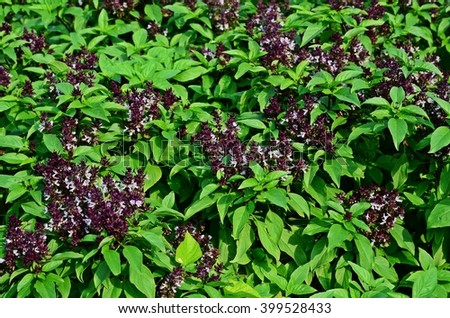 Thai basil, holy basil, hot basil, sacred basil plant, vegetable garden, vegetable bed, vegetable plot, soil, agriculture, edible plant, backyard garden, home-grown vegetable, organic farm - stock photo