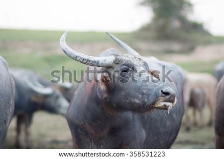 thai buffalo portrait  - stock photo