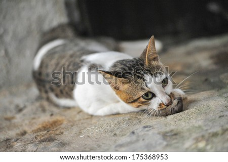 Thai Cat eat rat on the Ground - stock photo