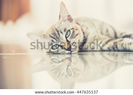 Thai cat in looking action with reflect. (Vintage filter effect used) - stock photo