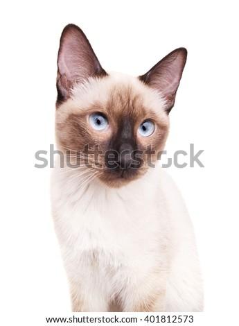 Thai Cat Portrait - stock photo