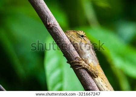 Thai chameleon on the branch. - stock photo