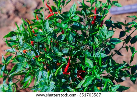 Thai chilli tree agriculteral in organic farm in Thailand - stock photo