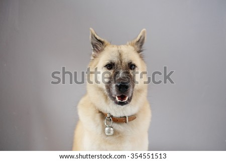 Thai dog in front of grey background - stock photo