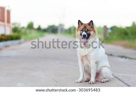 thai dog sitting and smiling - stock photo
