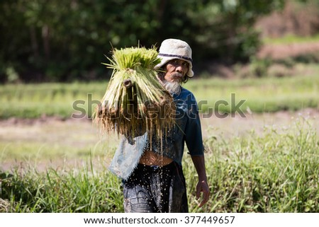 Thai farmer grow rice in the rainy season. He is caring the rice sprouts on the shoulder.they are soaked with water and mud to be prepared for planting. wait three months to harvest crops. - stock photo