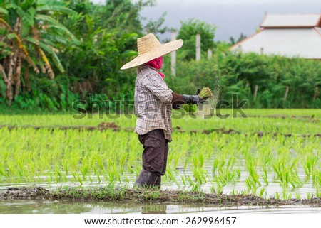 Thai farmer growing rice,focus on farmer - stock photo