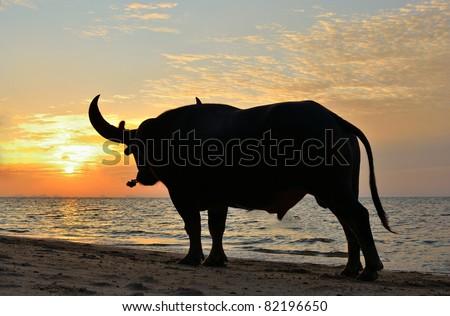 thai fighting buffalo training at sunset time. - stock photo