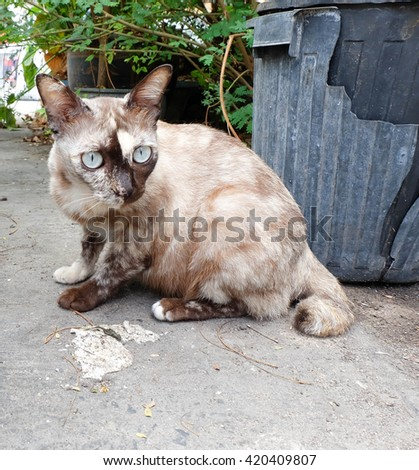 Thai grey cat is sitting - stock photo