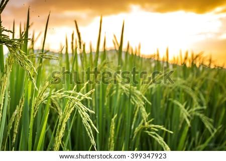 Thai jasmine rice paddy fields in Phrao, Chiang Mai, Thailand.  - stock photo