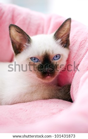 Thai kitten portrait on pink pet bed background - stock photo
