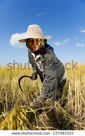thai rice farmer harvesting - stock photo
