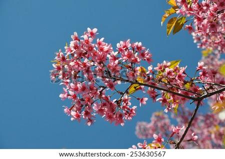 Thai Sakura, The beautiful pink blossom from Inthanon national park, Chiang Mai, Thailand - stock photo