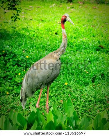 Thai Species of Crane stand alone in nature, Korat, Thailand. - stock photo