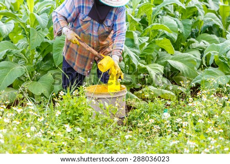 Thai woman put Insecticide and fertilizer in tobacco plant - stock photo