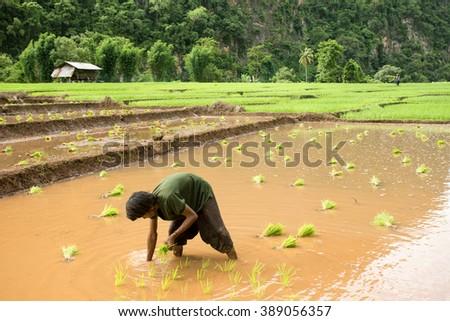 THAI YAI TRIBAL FARMER-PAI-MAE HONG SON-THAILAND-FEBRUARY-4-2016:Tribal farmer transplant rice seedlings in paddy field - stock photo