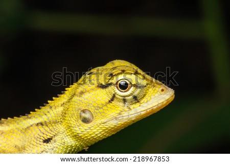 Thailand chameleon on green leaf - stock photo