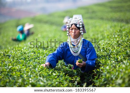 THAILAND, CHENG RAI - MARCH 3, 2014: Unidentified Thai Hmong woman harvests tea leaves at tea plantation at Choui Fong. Only uppermost leaves are collected and workers collect daily. - stock photo