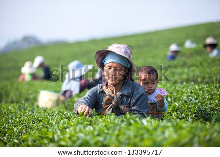 THAILAND, CHENG RAI - MARCH 3, 2014: Unidentified Thai woman with her son harvests tea leaves at tea plantation at Choui Fong. Only uppermost leaves are collected and workers collect daily. - stock photo