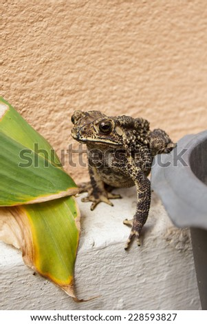 thailand common toad in the garden. - stock photo