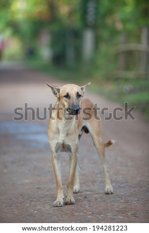 Thailand Dog Breed - stock photo