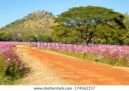 THAILAND - January 11: Laterite way in flower fields of foothill on January 11, 2014 in the northeast part. - stock photo