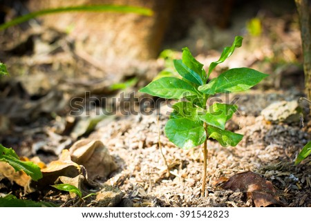 Thailand organic coffee plant tree growing seedling in soil at organic farming - stock photo