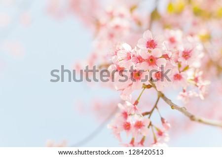 thailand Sakura pink flower in ChiangMai, Thailand - stock photo