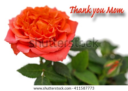 Thank you mom - Coral rose and bud on white background, close up - stock photo
