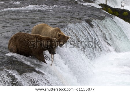 That's My Fish - A grizzly bear looks at the fish that got away on the Brooks Falls in Katmai National Park, Alaska. - stock photo