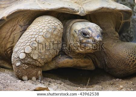 Thauland, Chang Mai, Chang Mai zoo, Aldabra Giant Turtle (Geochelone gigantea) - stock photo