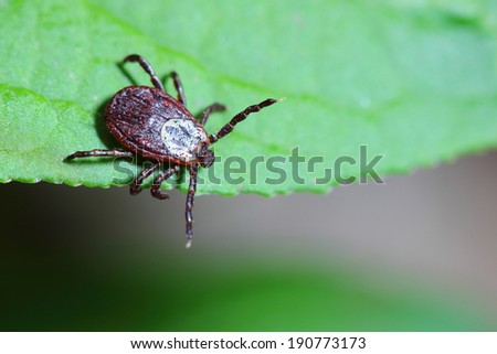 The acarus sits on a green leaf in the forest  - stock photo