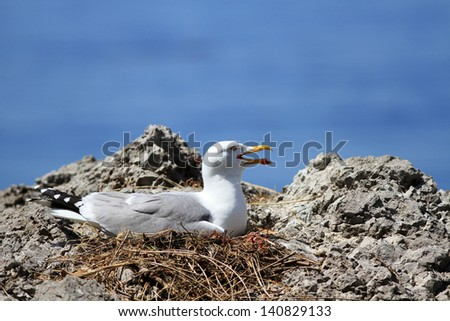 The adult seagull sits on a nest against the sea - stock photo