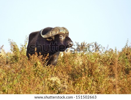 The African buffalo  - stock photo