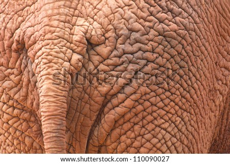 The African elephant has beautiful buttocks - stock photo