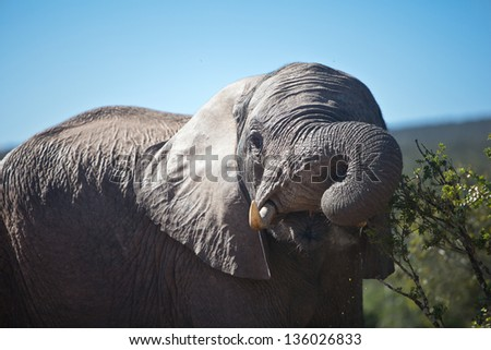 The African elephant is the largest living terrestrial animal.  There are two species that live in Africa, the African bush elephant and the smaller African forest elephant. - stock photo