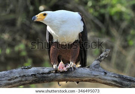 The African Fish Eagle (Haliaeetus vocifer) or distinguish it from the true fish eagles the African Sea Eagle is a large species of eagle. It is the national bird of Zimbabwe and Zambia. - stock photo