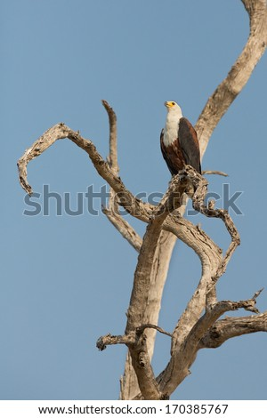 The African Fish Eagle (Haliaeetus vocifer) perches in a dead tree - stock photo
