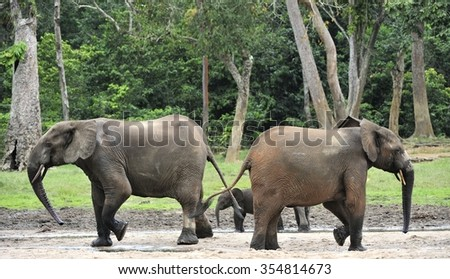 The African Forest Elephant, Loxodonta africana cyclotis, (forest dwelling elephant) of Congo Basin. At the Dzanga saline (a forest clearing) Central African Republic, Sangha-Mbaere, Dzanga Sangha - stock photo