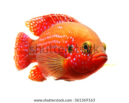 The African jewelfish (Hemichromis bimaculatus) isolated on white background - stock photo