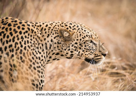 The African leopard (Panthera pardus) in Serengeti National Park - stock photo