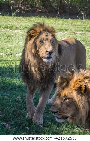 The African Lion is the top predator in the African wild - stock photo