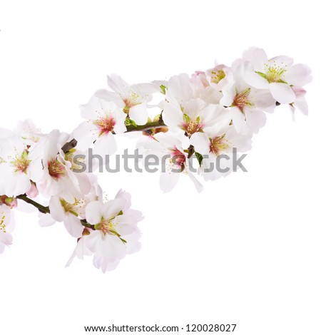 The almond tree pink flowers with branch isolated on white background. - stock photo