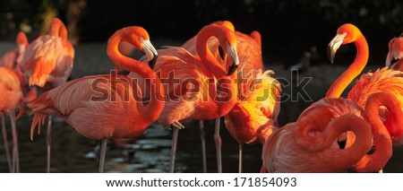 The American Flamingo (Phoenicopterus ruber) over beautiful sunset, flock of exotic birds at natural habitat, Cuba. Rio Maximo  park. Group of flamingos against a dark background in decline beams.   - stock photo
