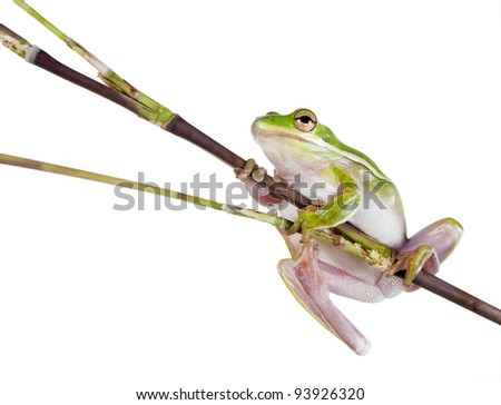 The American green tree frog (Hyla cinerea) a branch of bamboo - stock photo