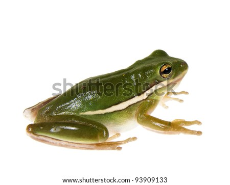 The American green tree frog (Hyla cinerea)  sits on a white background - stock photo