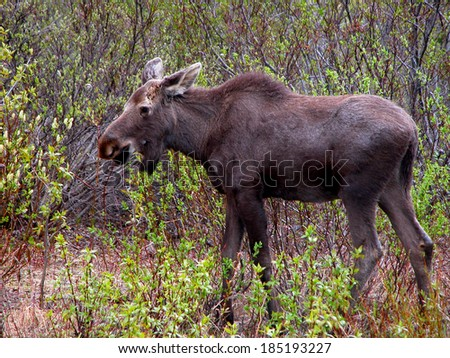 The American moose is frequently seen foraging in Alaska. It is known as the Eurasian Elk in some parts of the world.          - stock photo